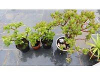 Jade succulents Plants