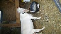 polled intact lamancha billy goat