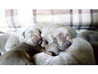 Silver Labrador Puppies ( KC REG)