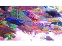 Malawi cichlid's, Stunning quality, Fish tank.