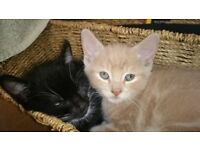 Beautiful female kittens 8 weeks on 28th june £60