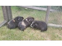Baby Female Guinea Pigs..... Ready Now!