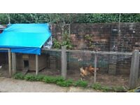 2 Hybrid chickens and chicken house