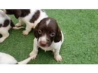 Lovely English Springer spaniel puppys