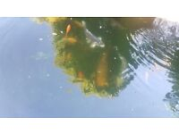 Koi Fish, pond clearout