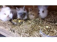 Beautiful pure baby dwarf lionhead rabbits ready for a forever home.