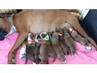 8 beautiful chunky boxers