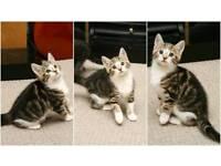 5 Tabby & Tortie kittens for sale