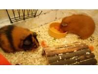 Pair of rescue Guinea pigs