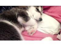 Malamute cross husky 4 month old puppy