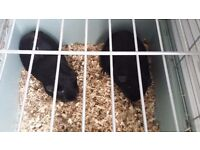 2 black male brother guinea pigs