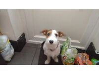 11 month old Jack Russell pup for sale
