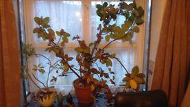 Rubber plant 4 ft