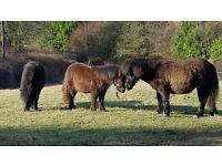 registered miniature shetland pony yearling colt