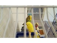 2 budgies absoloutely gorgeous colours with cage and extras