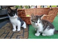 Little cute kittens. 2 tabby, 2 black white