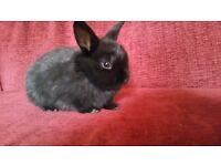 Netherland dwarf x baby bunnies