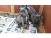 Blue sbt puppys ikc kc reg both clear by parants excellent bloodline looking doposit secures