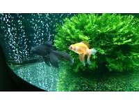 3 Fancy Goldfish and 10 White Cloud Mountain Minnows