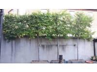 Mature Hornbeam trees