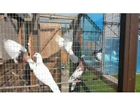 Last Remaining Doves for sale - £2.50 each
