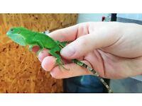 CB18 Fiji Iguanas for sale (Brachylophus fasciatus)