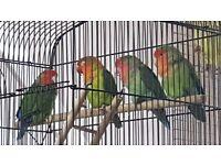 LoveBirds Fischer and Peachface Lovebirds for sale - lovebirds- love birds - peach face