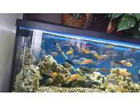 Cichlids Malawis Fish for sale