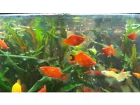 Platy fish for sale.