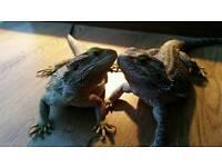Bearded Dragons + vivarium