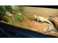 Bearded dragon an 4ft viv