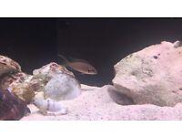 X2 fairy fish chiclids