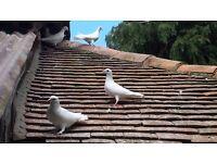 Lovely white doves
