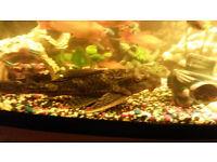 pleco fish 25 cm