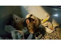 Pair Of Female Rats & Cage