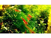 Red cherry shrimps £0.70