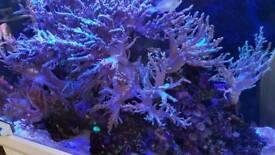 Leather corals 30cm long