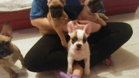 french bulldogs for sale 4 girl for sale all healthy and ready to go to a new home in 2 weeks
