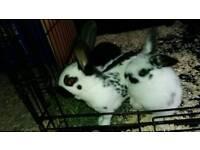 2 baby doe rabbits