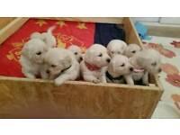 Golden retriever puppies for sale KC register