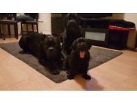 Beautiful Cane Corso female pups are ready to find their forever home