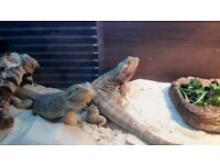 2 bearded dragons with viv