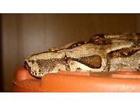 Female snake