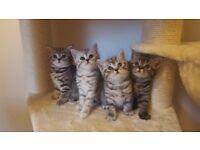 adorable british shorthair kittens