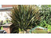 Free New Zealand Flax. large plant