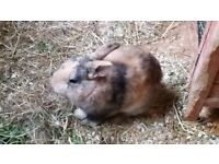 Male rabbit for sale very cute