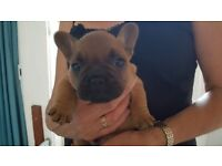 Quality French Bulldog Puppies - KC Registered