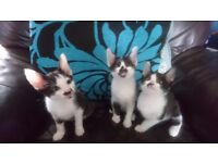 Reduced price siamese x kittens 2 left