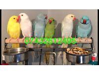 Beautiful yellow Grey Green ringneck Talking Parrot