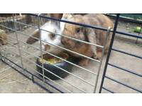 2x Female lop eared rabbits